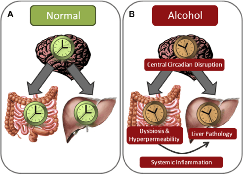 Image result for alcohol circadian disruption