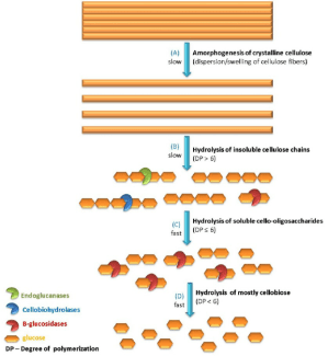 Schematic diagram of the stages of cellulose enzymatic