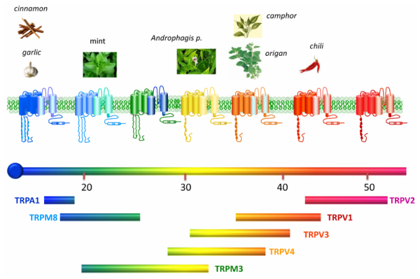 Thermotransient receptor potential (TRP) channels ...
