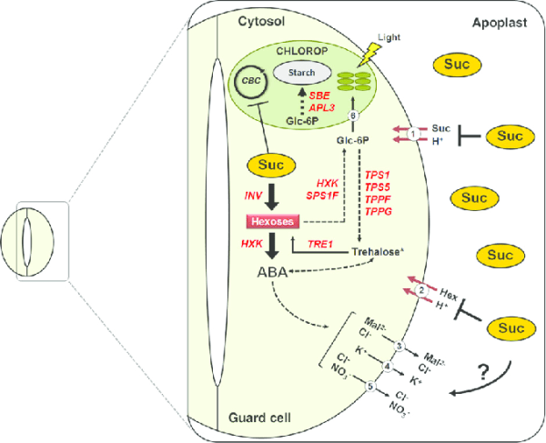 Sucrose-induced stomatal closure. The mesophyll-derived ...