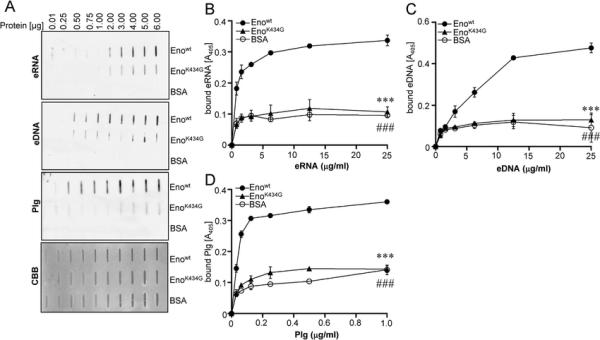 Figure 5. Mutation of Eno C-terminal lysine 434 reduces ...