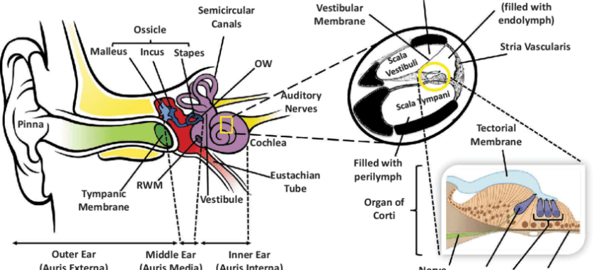 Anatomic structure of the human ear. Diagram of the ear ...