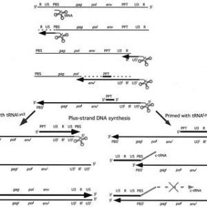(PDF) Mutation of the Methylated tRNA3Lys Residue A58 Disrupts Reverse Transcription and