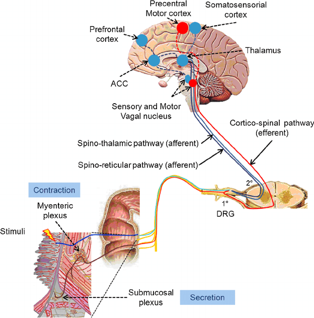 Pictures And Information On Blood Vessels And Nerve Pathways