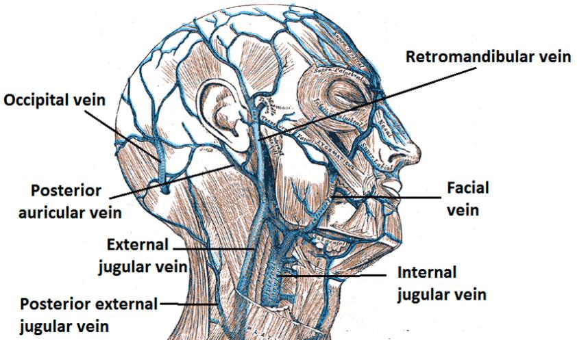 Venous drainage of external ear   Download Scientific Diagram