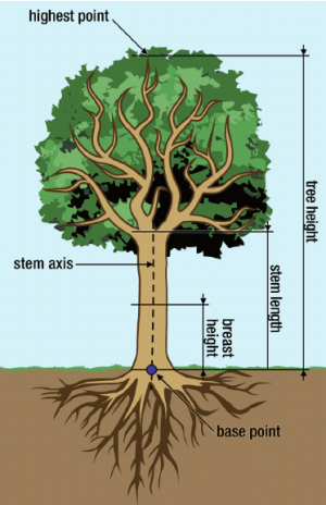 Tree without continuous main stem | Download Scientific Diagram