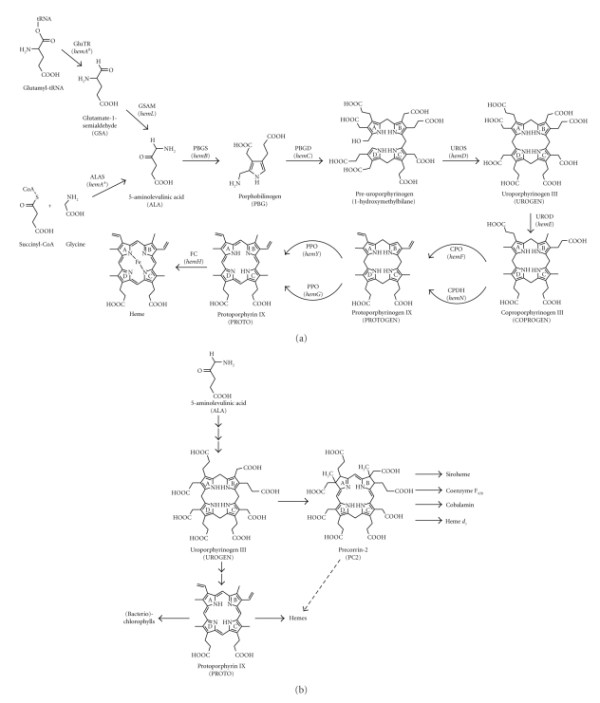 Tetrapyrrole biosynthesis pathways. (a) Heme biosynthesis ...