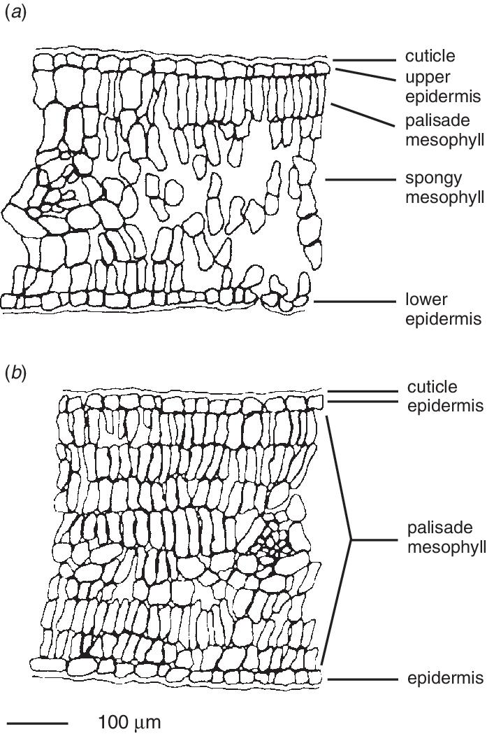 Transverse Section Of Leaf Diagram Leafjdi