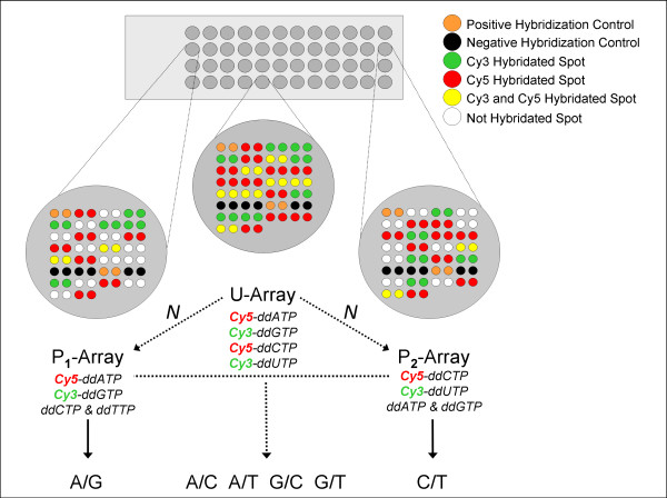 SNP genotyping by TAMGeS. On the upper left an image of ...