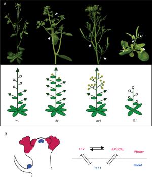 Meristem identity genes in arabidopsis (A) Inflorescence of the wild | Download Scientific