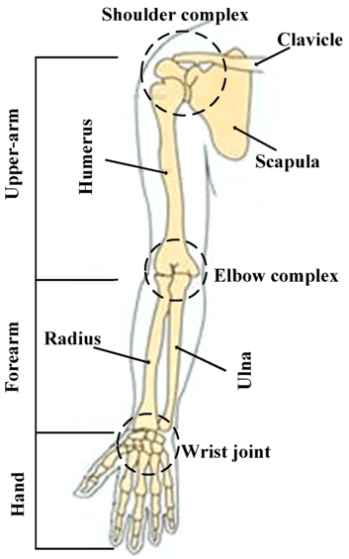 Image result for human upper limb bone