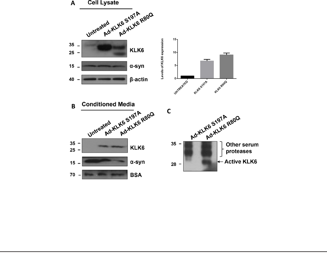 Klk6 Proteolysis Is Implicated In The Turnover And Uptake