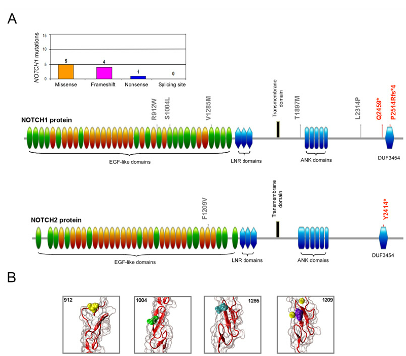 Molecular profile of the NOTCH mutations In A