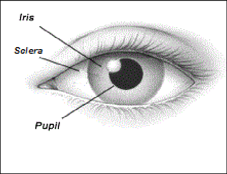 Front View of the Human Eye   Download Scientific Diagram