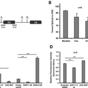Effects of SRSF1SRSF2 overexpression on OLR1 AS