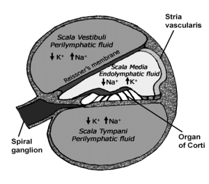 Schematic drawing of the cochlea in cross section The