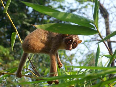 Malabar slender loris in Aralam Wildlife Sanctuary ...
