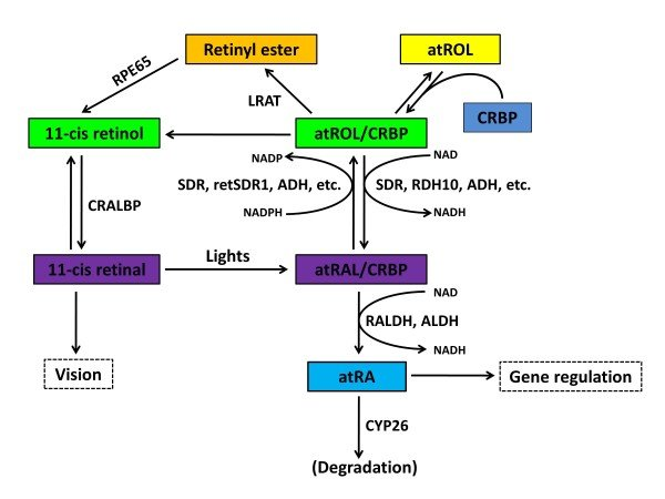 Schematic diagram showing the metabolic pathways of ...