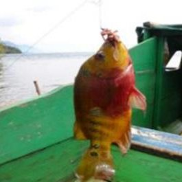 Louhan The Invasive Fish Species In Lake Matano Source Of Picture Download Scientific Diagram