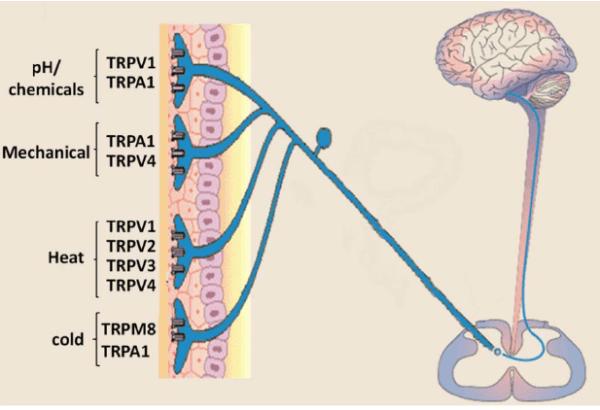 Sensory neurons express multiple transient receptor ...