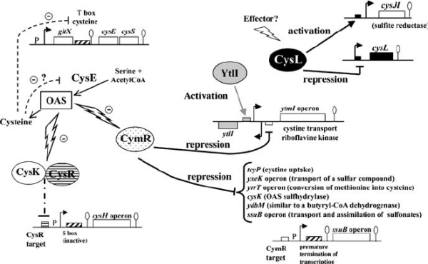 Regulation of cysteine metabolism in B. subtilis . The ...