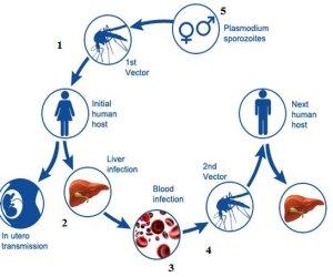 Malaria Life Cycle | Download Scientific Diagram