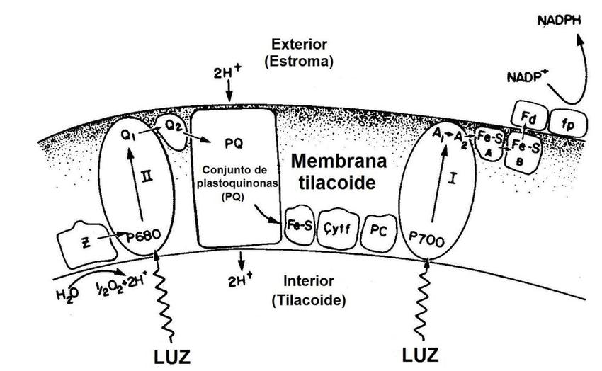 Figura IV93 Modelo de membrana tilacoide mostrando los diversos componentes del - Cloroplasto definición, característica y función