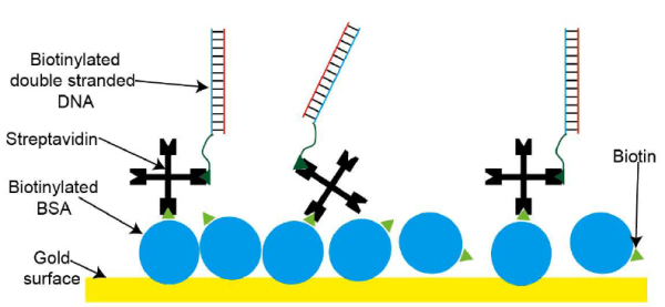 A cartoon schematic of the protein binding layers for the ...