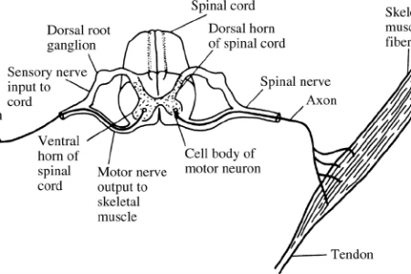 interior detailed diagram of spinal column » Full HD Pictures [4K ...