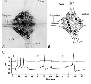 Cellular anatomy of the leech ganglion (A) Ideally the