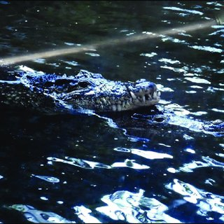 Image of: Walk Male Positioned Over Top And Slightly Behind Female Prior To Copulation Physorg Pdf Social Behavior In Captive Cuban Crocodiles crocodylus