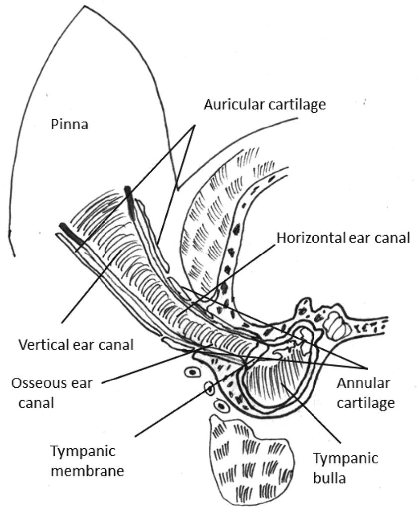 Schematic representation of the anatomy of canine external ...
