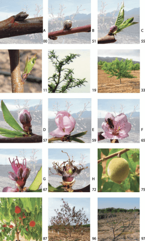 Phenological growth stages of 'Flordastar' peach trees according to the | Download Scientific