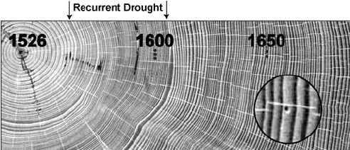 Annual Growth Rings Of Douglas Fir Seen On A Highly Polished Cross Section Cut