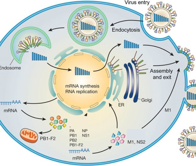 Replication Cycle Of Influenza A Viruses After Receptor Mediated
