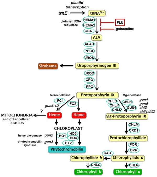 The plant tetrapyrrole pathway with key enzymes and gun ...