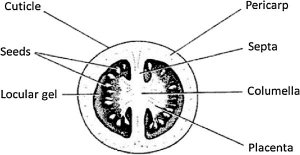 Schematic crosssection of a tomato fruit showing two