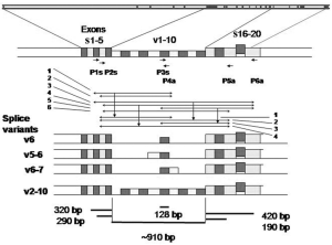 Schematic representation of the CD44 gene The gene spans 92 kb and | Download Scientific Diagram