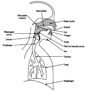 8 A schematic diagram of the human speech production mechanism | Download Scientific Diagram