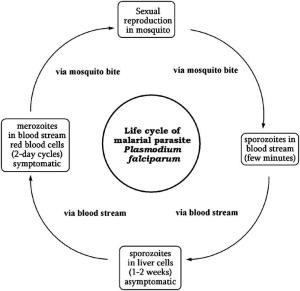 Life cycle of malaria parasite | Download Scientific Diagram