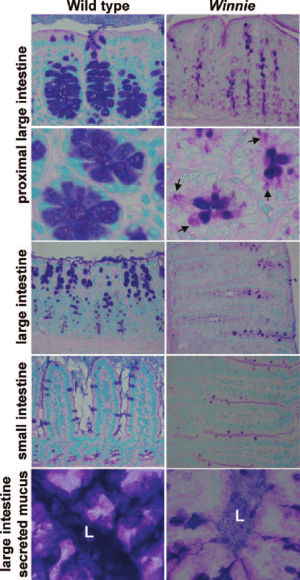 Histological Phenotype of Mice with Muc2 Mutations PAS