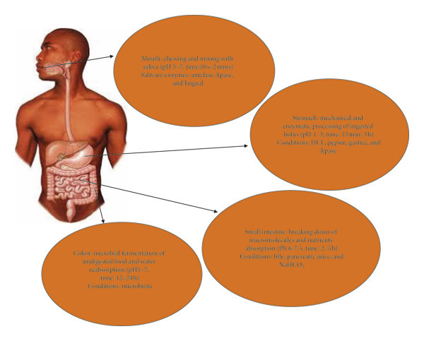The main mechanisms of the human digestive system ...