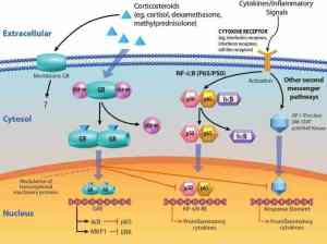 Corticosteroids (CSs) act on multiple intracellular signaling pathways to modify inflammatory