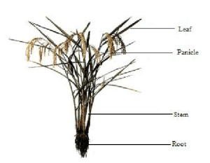 Rice plant with various parts (Lacharme, 2001, modified