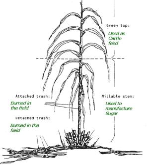 Sugar Cane Plant   Download Scientific Diagram
