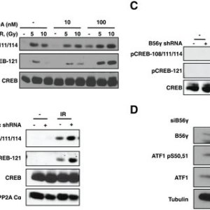 B56cPP2A mediates dephosphorylation of CREB and ATF1 (A