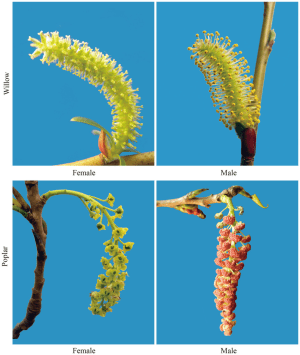 Flowers of the female and male trees in Salicaceae species