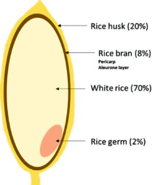 1 The structure of a rice grain | Download Scientific Diagram