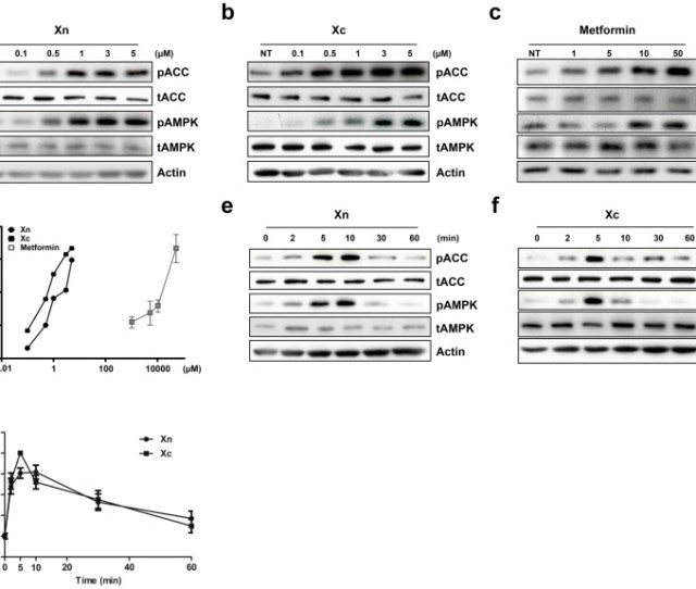 The Xanthene Derivatives Xn A Xc B And Metformin C Increased Phosphorylation Of Ampka And Acc Ser 79 In A Dose Dependent Manner