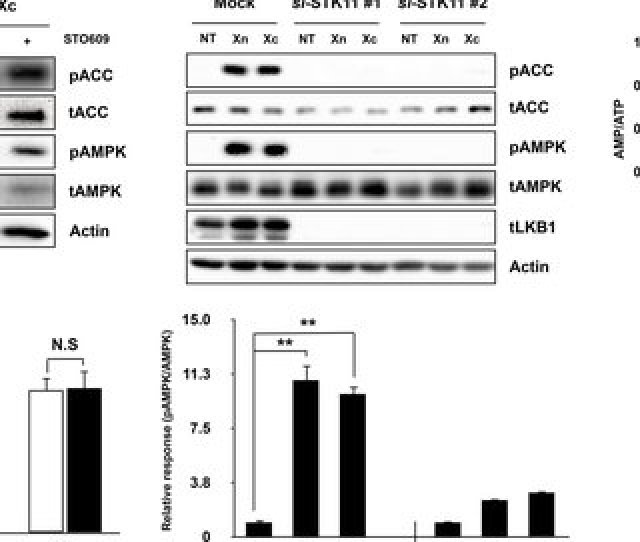 Xn And Xc Activate Ampk Via The Lkb1 Signaling Pathway A Indicated Agents